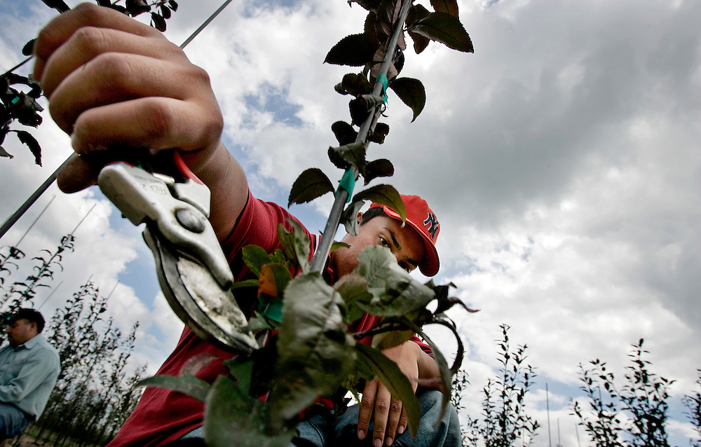 Manuel Heredia prunes crabapple trees in Wisconsin as a migrant worker.