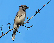 Image of a Blue-jay