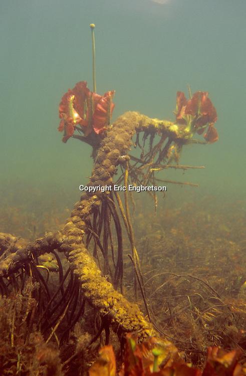 Underwater Scene-Water Lilly Root<br /> <br /> ENGBRETSON UNDERWATER PHOTO
