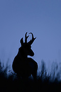 Silhouetted Pronghorn, Montana