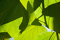 Chateau de Sauvage, France. Close-up shot of sunshine through leaves highlighting light and shade.