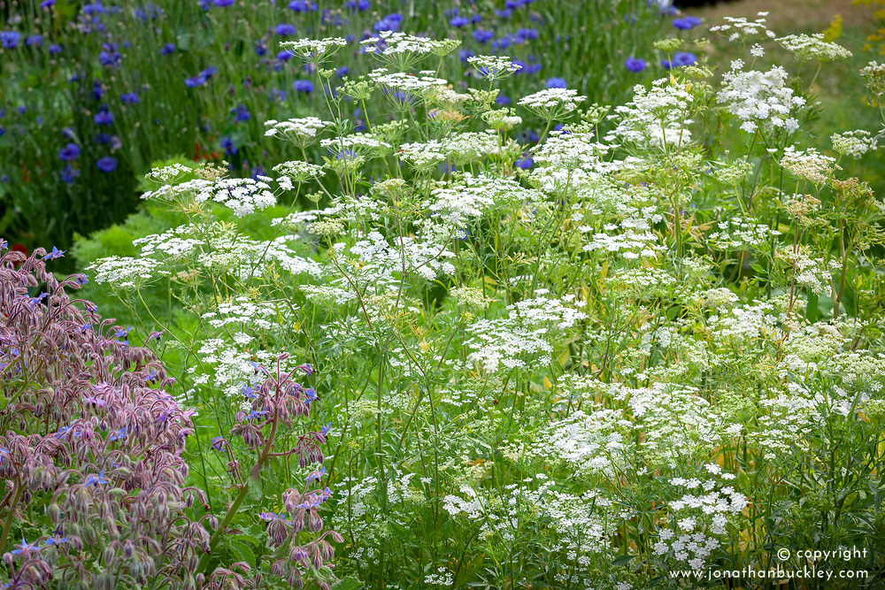 Ammi majus and Borago officinalis (borage)