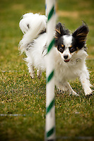 JEROME A. POLLOS/Press..Katie, a four-year-old papillon, shows her off her agility while weaving through an obstacle.
