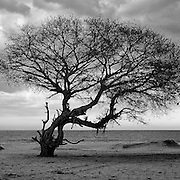 Tree and beach. North of Pottuvil. East Coast of the island.
