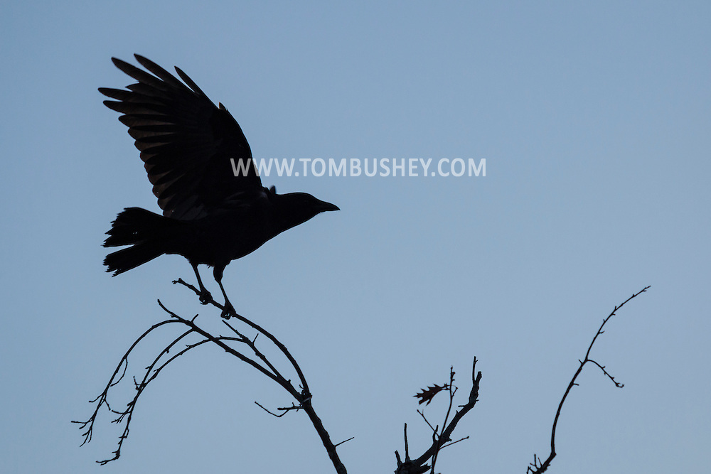 Middletown, New York - Crows on Jan.27, 2016.