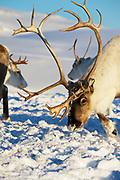 Reindeers graze in deep snow in natural environment in Tromso region, Northern Norway.