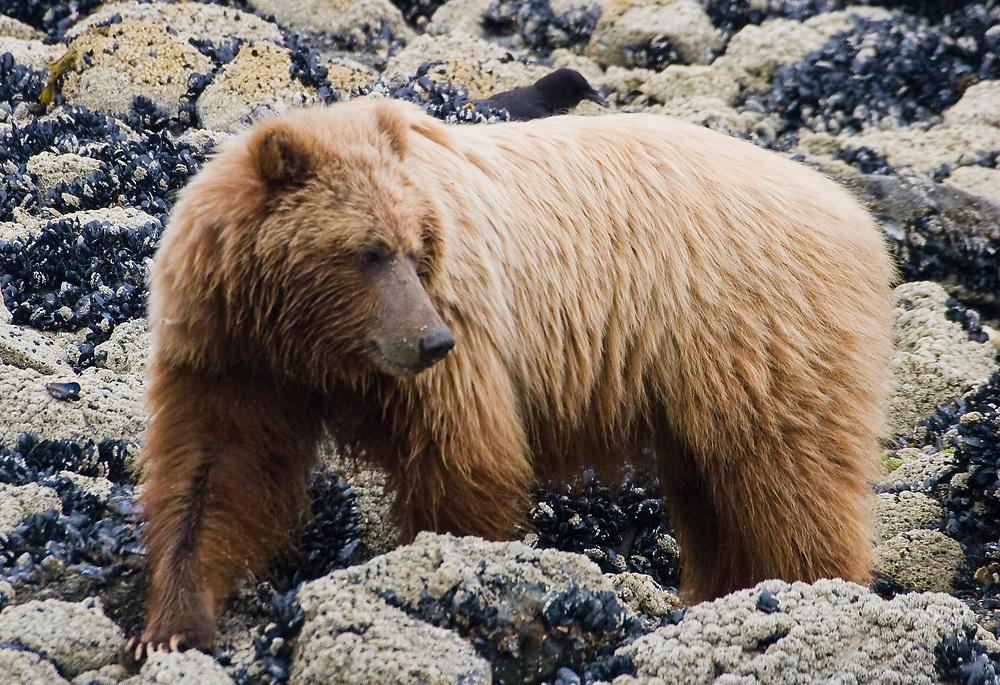 A brown bear (Ursus arctos) rolls mussel-covered rocks in Tidal Inlet, Glacier Bay.
