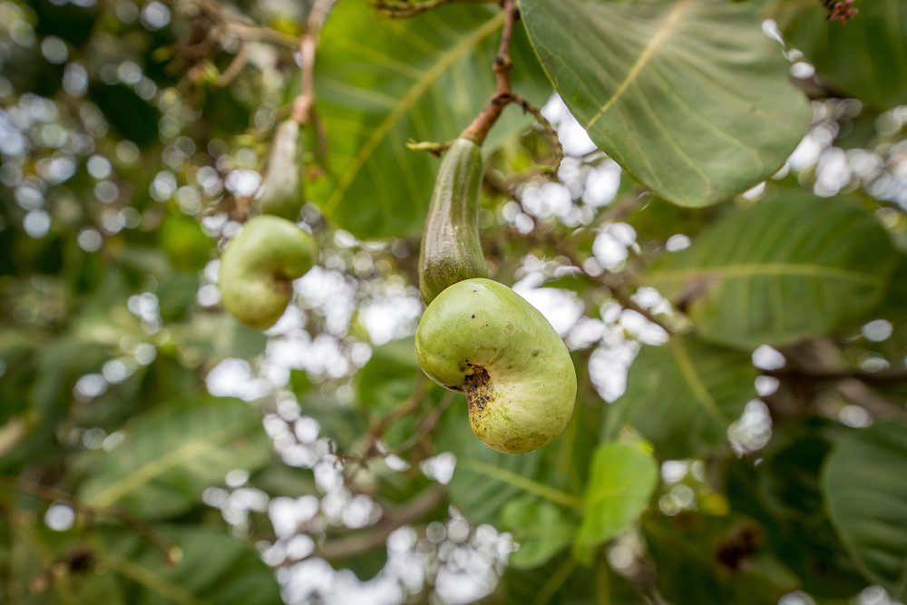 Cashew fruit seed (Anacardium occidentale) grows on a farm in Ganta, Liberia