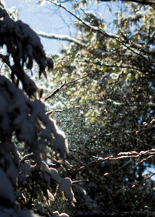 Snow being blown off of tree in Algonquin Provincial Park