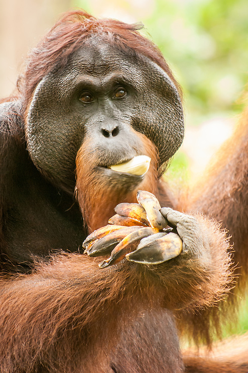A portrait of Gintak, the eighteen-year old male orangutan (Pongo pygmaeus) at Sepilok Rehabilitation Centre, Sabah, Malaysia