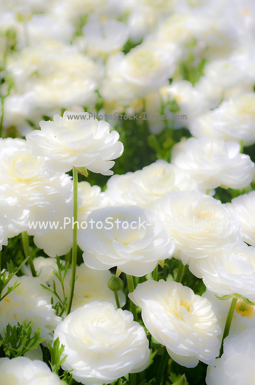 A field of cultivated white Buttercup (Ranunculus) flowers for export to Europe. Photographed in Israel Northern Negev