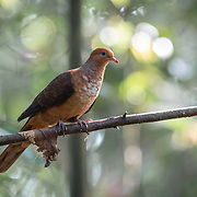 The little cuckoo-dove (Macropygia ruficeps) is a species of bird in the family Columbidae. It is a reddish brown pigeon, and is found in Brunei, China, Indonesia, Laos, Malaysia, Myanmar, Thailand, and Vietnam.