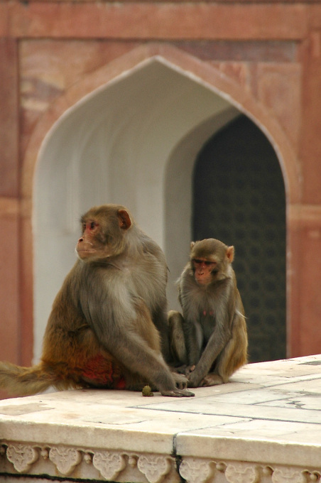 Monkeys at The Red Fort in Agra, India