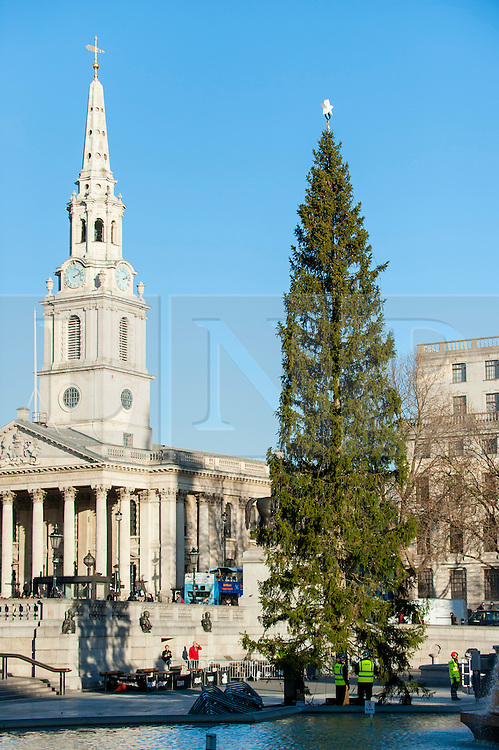© Licensed to London News Pictures. 28/11/2016. London, UK. The annual Christmas Tree is installed in Trafalgar Square by workmen.  Each year since 1947, a tree has been given as a gift by the city of Oslo, Norway to the city of London, by way of gratitude for their assistance during the years 1940-45. Photo credit : Stephen Chung/LNP