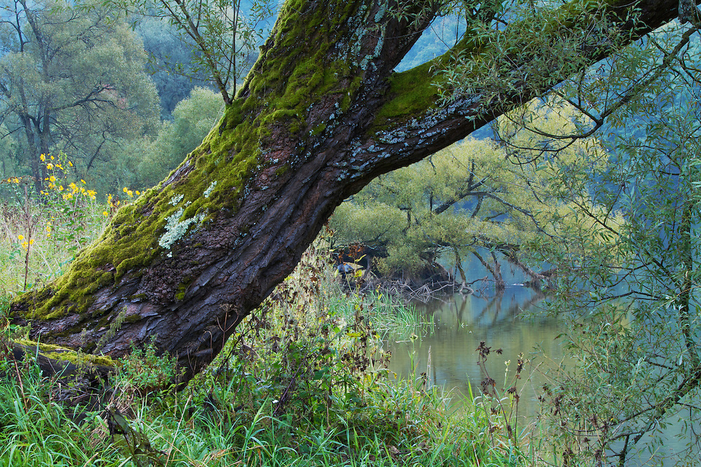 Willows (Salix sp.) and other vegetation at the banks of the San River, Myczkowce, Poland.