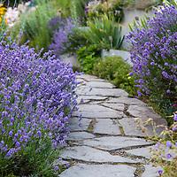Munstead English lavender lining a flagstone walk (Lavandula angustifolia 'Munstead')