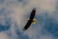 Bald Eagle, Fortress of the Bear (wildlife sanctuary), Sitka, Alaska USA.