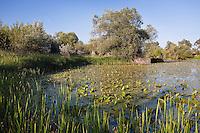 Backwater of Latorica River with Nuphar luteum, Eastern Slovakia, Europe, Latorica Altwasser mit Gelben Teichrosen, Nuphar luteum, Slowakei, Europa