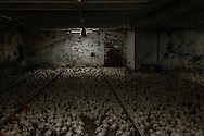 Thousands of broiler chicks farmed on the floor. Chicken lifetime here is 42 days, a short life experienced completely indoor. Inside the densely populated sheds, vast amounts of waste accumulate. The resulting ammonia levels commonly cause painful burns to the birds' skin, eyes, and respiratory tracts.