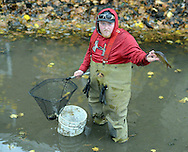 Chris Chambers, who works for the Parks department holds a carp that he pulled from the Delaware Canal as they work to save fish from the Canal that has low water flow Thursday November 12, 2015 in New Hope, Pennsylvania.  A broken pump at Centre Bridge has disrupted the flow of water from the Delaware River into the canal, and the rapidly receding water in the canal is threatening to kill the fish. (Photo by William Thomas Cain)