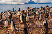 Chinstrap penguins (Pygoscelis antarctica). These birds feed almost exclusively on krill. They inhabit the Antarctic and Antarctic islands. They migrate north to overwinter at sea, although some vagrants have been found as far north as Australia. They build their nests out of pebbles so that the eggs are insulated from the frozen ground and snow. Photographed on Deception Island, Antarctic Peninsula, Antarctica.