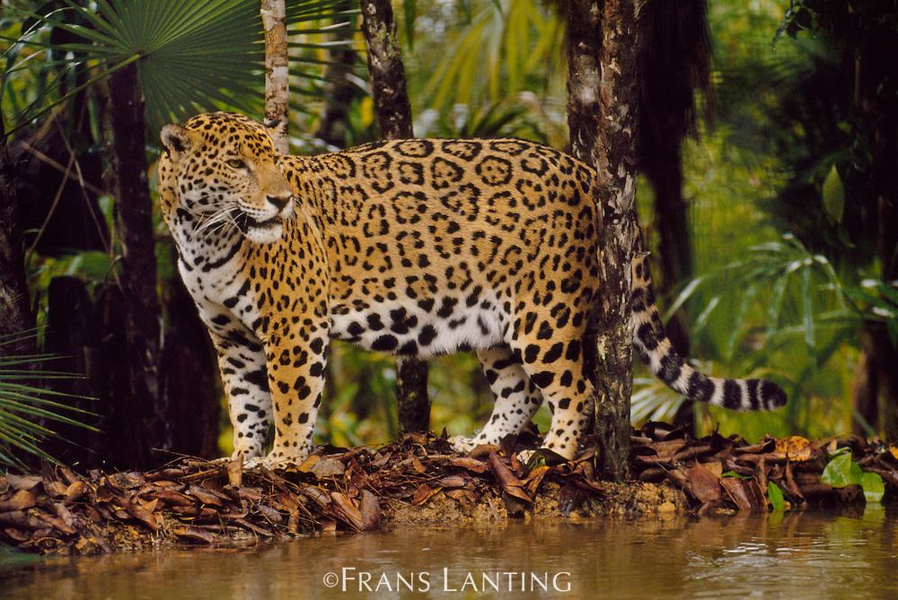 Jaguar at waterhole, Panthera onca, Belize