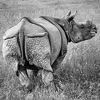 One Horned Asian Rhino, The Wilds