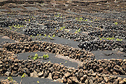 Dry stone walls and grapevines in sheltered enclosures, near Orzola, Lanzarote, Canary Islands, Spain