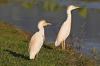 Cattle Egret photo Hawaii