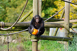 © Licensed to London News Pictures. 29/10/2013 Dunstable, UK. A chimpanzee holds a Halloween pumpkin in it's enclosure at Whipsnade Zoo, Dunstable. The animals are given the spooky treats as part of their dietary enrichment programme.<br /> Photo credit : Simon Jacobs/LNP