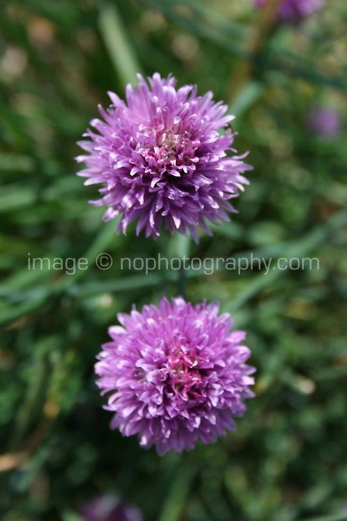 Chive Plant with purple flowers