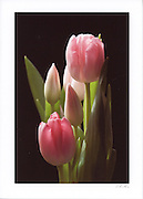 Image of 5 pink tulips on greeting card individually printed on acid free card stock with long lasting ink. Blank inside, with envelope.