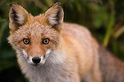 A northern red fox wandering among the corn fields in Hokkaido, Japan.