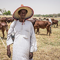 """Kondo Issa's herd of 400 cows grazing on the dry bed of the Koumadougou river. """"We should be in Nigeria at this time of the year, a lot further south, but we're stuck here because of the fighting. I don't know how many other herds will be brought here. I hope we'll be able to last out till the rainy season,"""" Kondo says."""