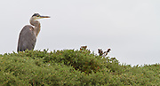 Great Blue Heron, Elkhorn Slough, North America