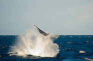 Humpback Whale tail shot, Megaptera novaeangliae, Maui Hawaii