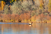 An elk (Cervus canadensis) crosses the Chama River, which is lined with autumn color as it flows near Abiquiu, New Mexico. Elk are also known as wapati.