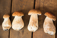 Portrait of wild Bolete mushrooms found in the forest along the Oregon Coast.