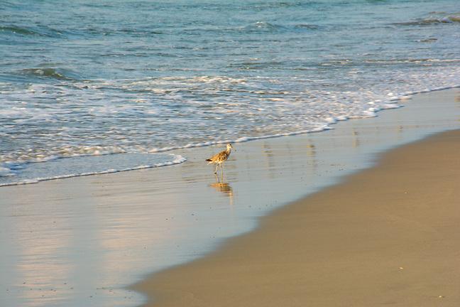 The early bird is looking breakfast on Pawleys Island