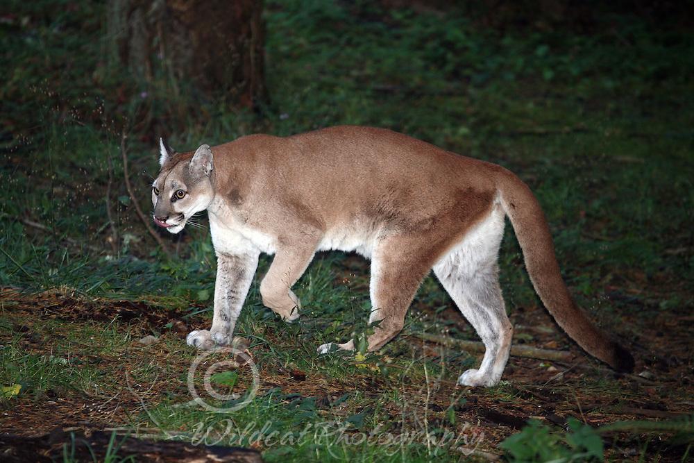 Cougar--Come Closer Dearie