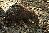 Philippine Porcupine, Hystrix pumila, Palawan Porcupine, Porc-épic des Philippines