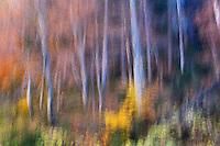 Beech forest in autumn, National Park Piatra Craiului, Transylvania, Southern Carpathians, Romania
