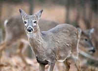 Two Deer in Garret Mountain Park , Paterson NJ