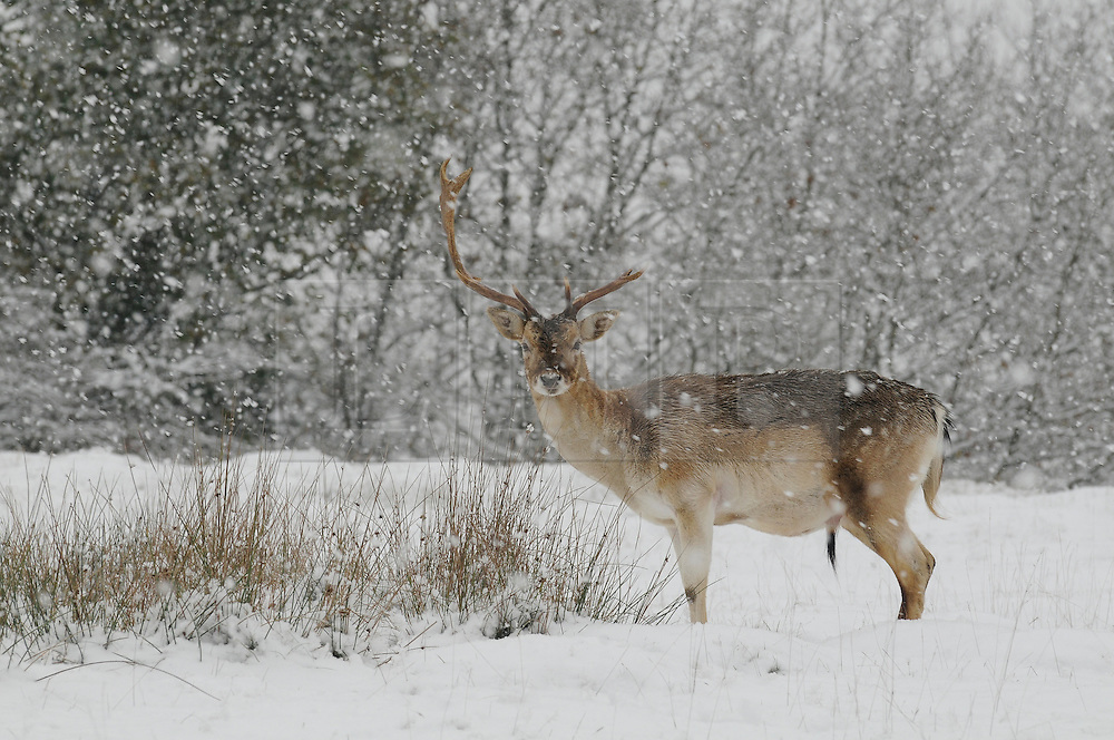 © under license to London News Pictures. 30.11.2010  Stag at Knole Park in Sevenoaks, Kent. today.   Picture credit should read Grant Falvey/London News Pictures