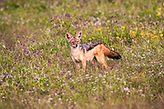 black-backed jackal (Canis mesomelas), also known as the silver-backed or red jackal. Photographed in Serengeti National Park, Tanzania