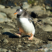 A gentoo penguin (Pygoscelis papua) makes his way awkwardly uphill from Cooper Bay, South Georgia, to the gentoo rookery.