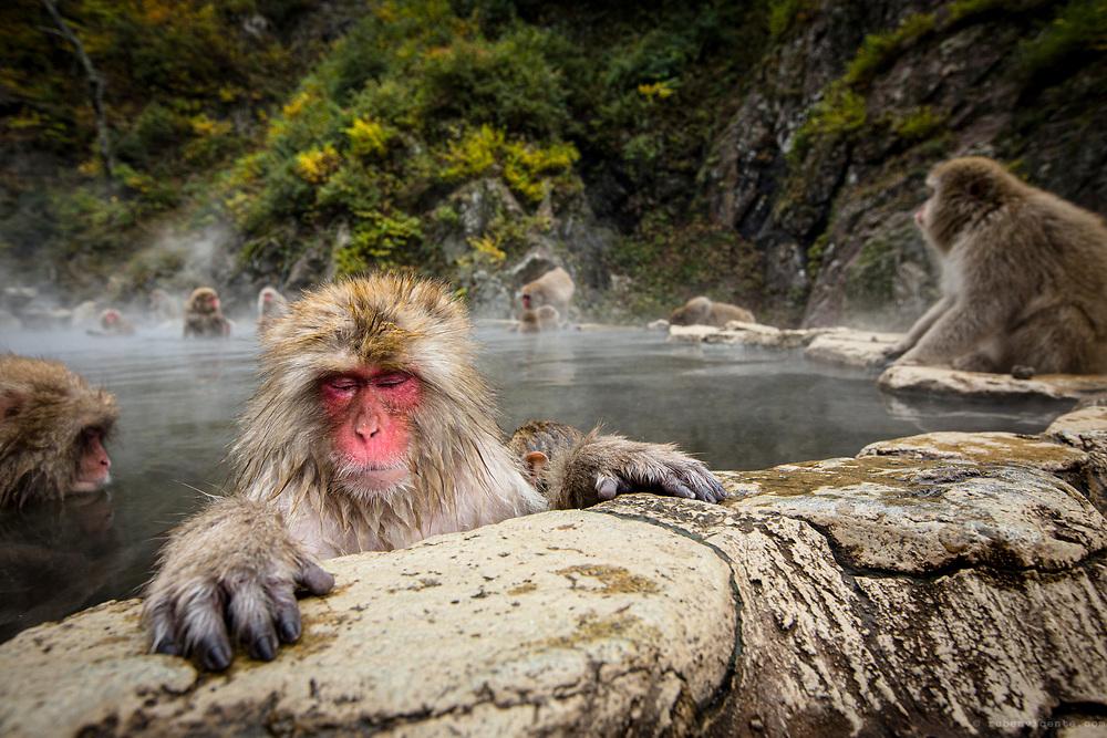 Japanese macaque hand. Jigokudani, Japan