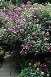 Hydrangea villosa in the Barn Garden