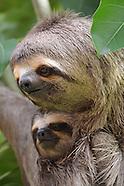 Sloths in Santa Cruz, Bolivia