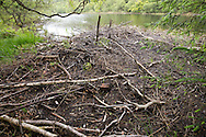 Beaver lodge, Knapdale Forest, Argyll - site of Scottish Beaver Trial.